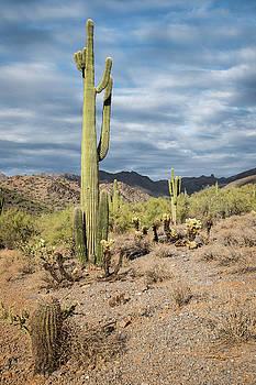 McDowell Cactus by David Hart