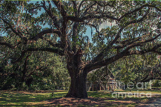 McLeod Plantation Live Oak Tree by Dale Powell