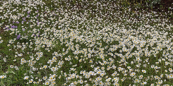 James BO Insogna - Meadow Of Daises Wildflowers Panorama