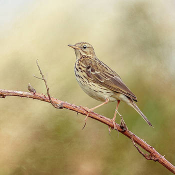 Meadow Pipit by Roy McPeak