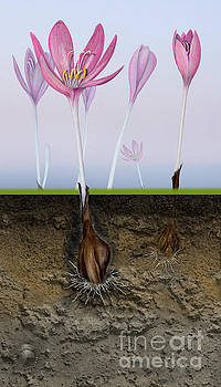 Meadow Saffron - Naked Lady - Autumn Crocus Colchicum - Colchiqu by Urft Valley Art