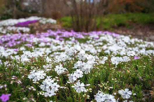 Meadow with flowers at Botanic Garden in the Blue Mountains by Daniela Constantinescu