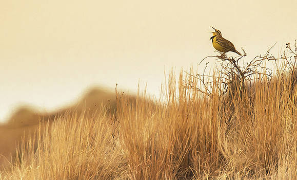 Meadowlark  by Kelly Marquardt
