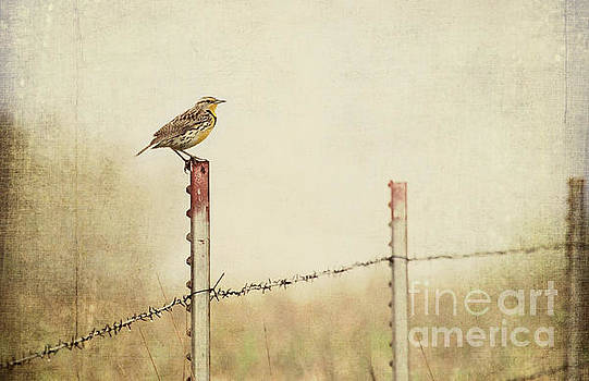 Meadowlark on a Post by Pam  Holdsworth