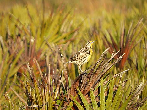 Meadowlark on the prairie by Red Cross
