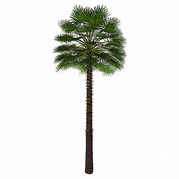 Corey Ford - Mediterranean Fan Palm Tree