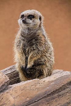 Meerkat 1 by Angela Moreau