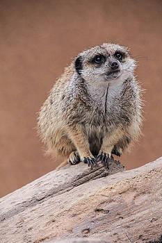 Meerkat 2 by Angela Moreau