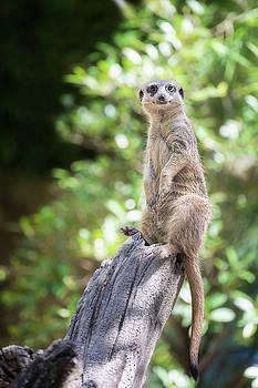 Meerkat by Anek Suwannaphoom