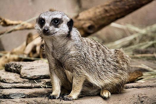 Karen Scovill - Meerkat