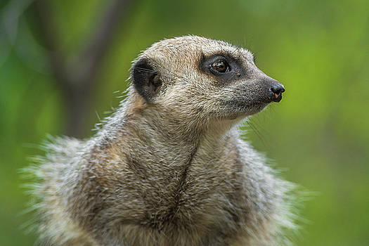 Meerkat Listening by Racheal  Christian