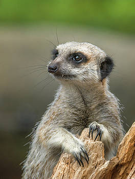 Meerkat Model by Racheal  Christian