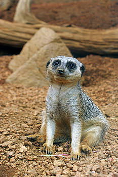 Meerkat by Off The Beaten Path Photography - Andrew Alexander