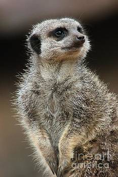 Meerkat Pose by Vicki Spindler