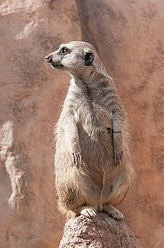 Meerkat Sentry 5 by Tom Potter