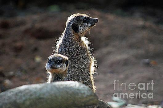 Spade Photo - Meerkats sunbath
