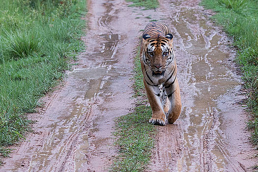 Face to Face with a Tiger One Rainy Afternoon by Fotosas Photography