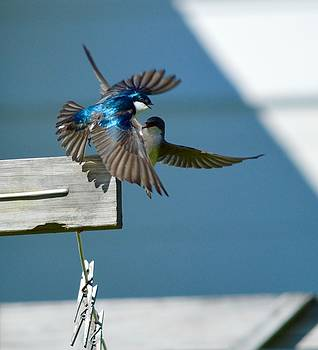 Meeting of the Tree Swallows by Sheila Price