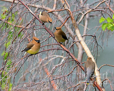 Meeting of the Waxwings by Mike Dawson