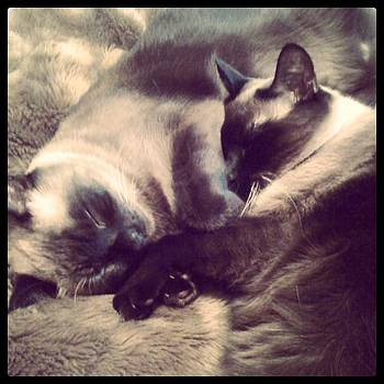 #meezers #siamese #cats #lotusandbamboo by Patricia And Craig