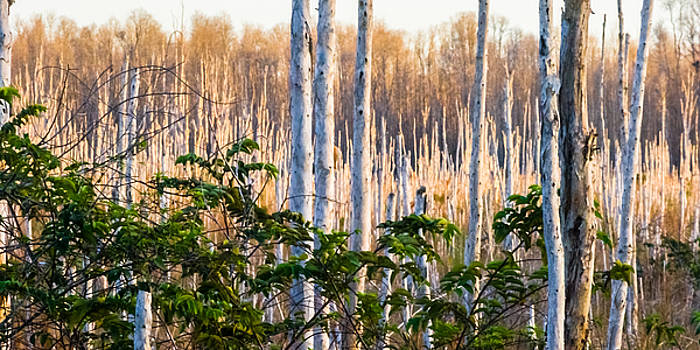 Melaleuca Forest by Ed Gleichman