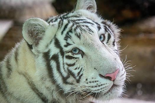 Mele Bengal tiger by Libor Vrska