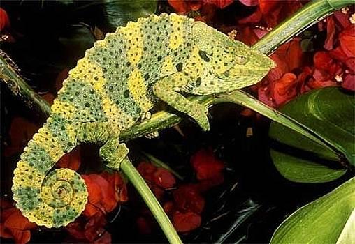 Meller Chameleon by Stephen OHara