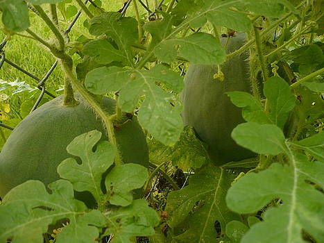 Melons by Stephen Davis