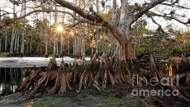 Memorial Tree - Florida Cypress Swamp by Matt Tilghman