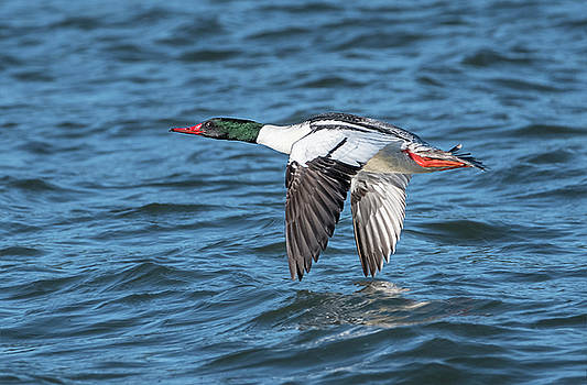 Loree Johnson - Merganser Skimming the Water