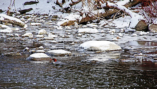 Debbie Oppermann - Merganser Skirting The Snowy River Rocks