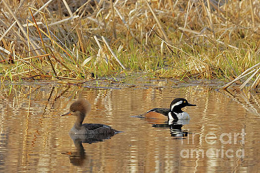 Merganser Spring by Natural Focal Point Photography