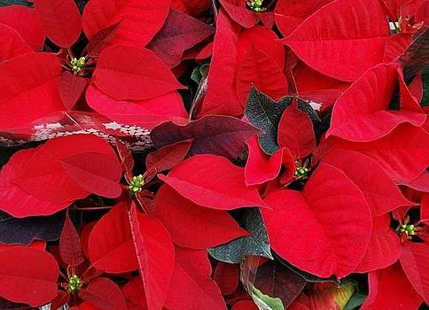 Merry Christmas by Marija Djedovic