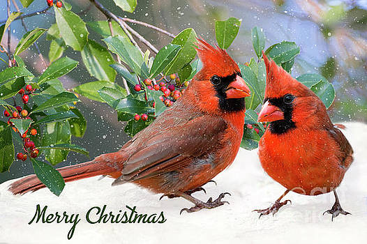 Merry Christmas Northern Cardinals by Bonnie Barry