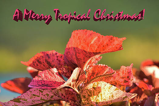 Merry Tropical Christmas by William Tasker
