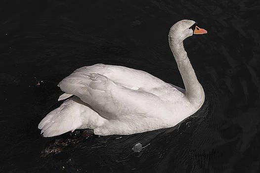 Metz Swan by John Daly