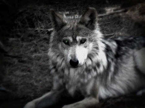 Emily Kelley - Mexican Gray Wolf