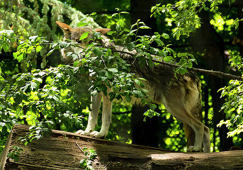 Mexican Grey Wolf at Attention by Tracy Winter