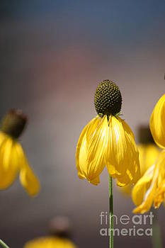 Mexican Hat Coneflower by Sallie Anderson