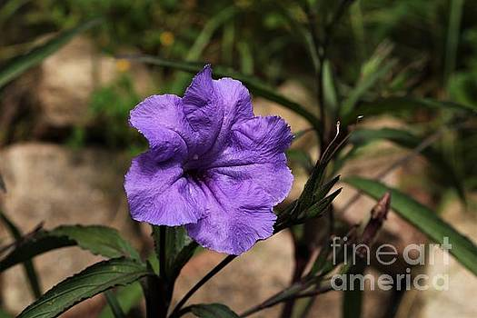 Mexican Petunia 2018 by Dee Winslow