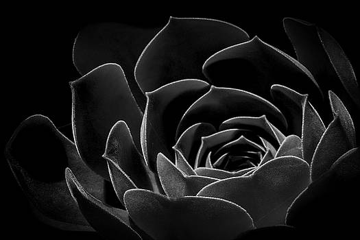 Mexican Rose by Guy Shultz