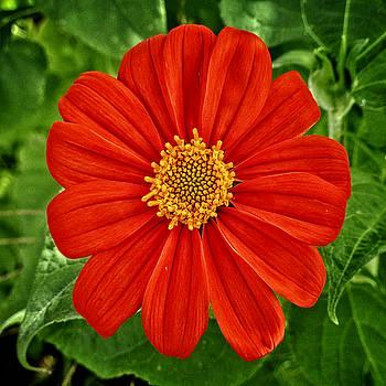 Dee Flouton - Mexican Sunflower