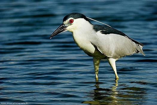 Isaac Silman - _MG_9170Black-Crowned Night Heron