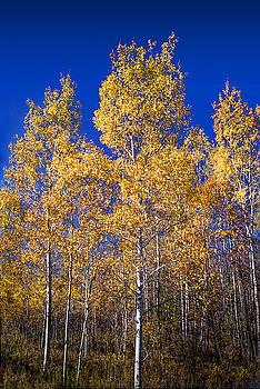 Randall Nyhof - Michigan Birch Trees in Autumn
