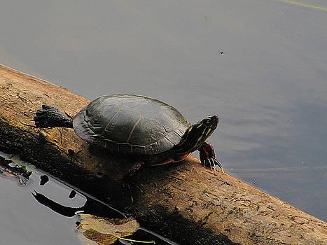 Scott Hovind - Michigan Painted Turtle