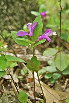 Michael Peychich - Michigan Wildflower Fringed Polygala 2050