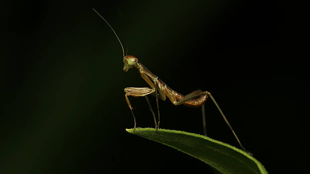 Micro Mantis by Jannie Maritz