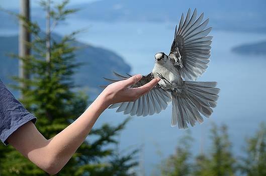 Mid Flight Gray Jay by Ian Harland