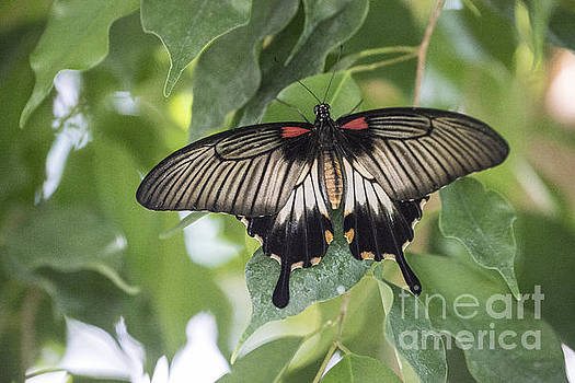 Midland Moth by Joseph Yarbrough