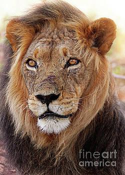 Mighty lion in South Africa by Wibke W
